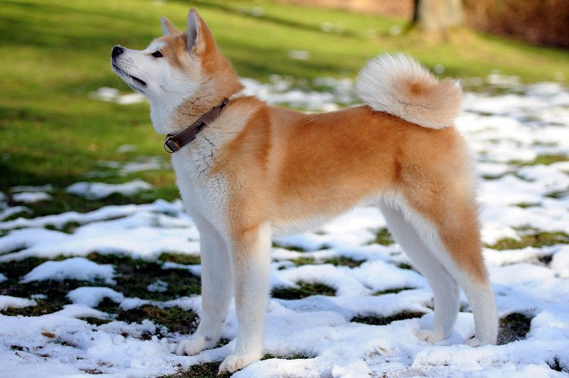 Akita Inu hond prijs. Akita Inu geschiedenis, kenmerken en temperament