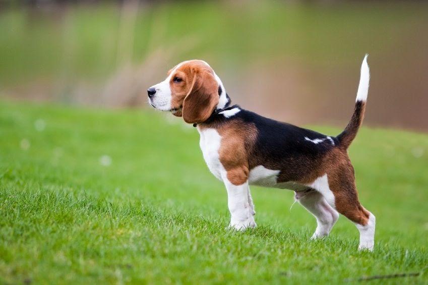 Beagle hond prijs. Beagle karakter en kenmerken. Beagle pups te koop
