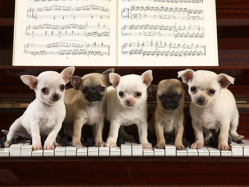 Chiwawa hond prijs. Chihuahua geschiedenis, uiterlijk en persoonlijkheid