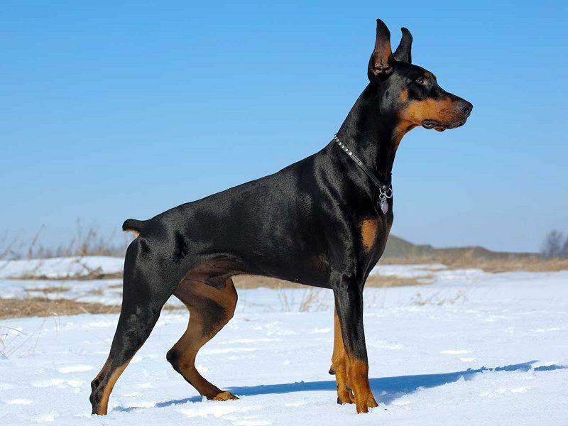 Dobermann hond prijs. Dobermann Pinscher uiterlijk en persoonlijkheid
