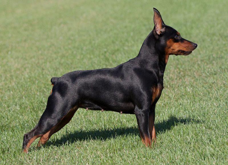 Dwergpincherpup prijs. Dwergpincher Hond Uiterlijk en Persoonlijkheid