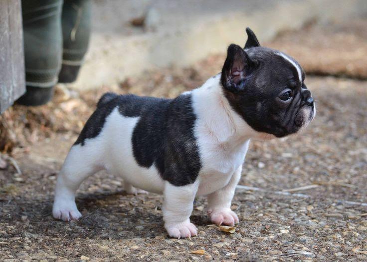Franse Bulldog hond prijs. Franse Bulldog uiterlijk en persoonlijkheid