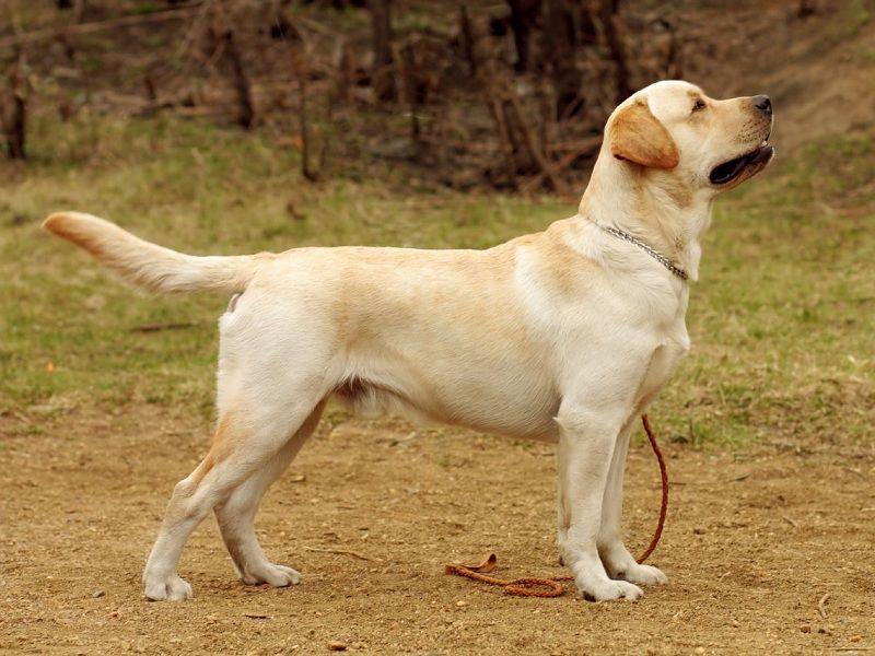 Labrador pup prijs. Labrador Retriever Hond Uiterlijk en Persoonlijkheid