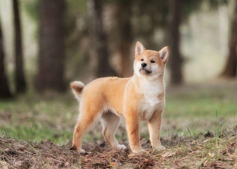 Shiba Inu hond prijs. Shiba Inu oorsprong, kenmerken en temperament