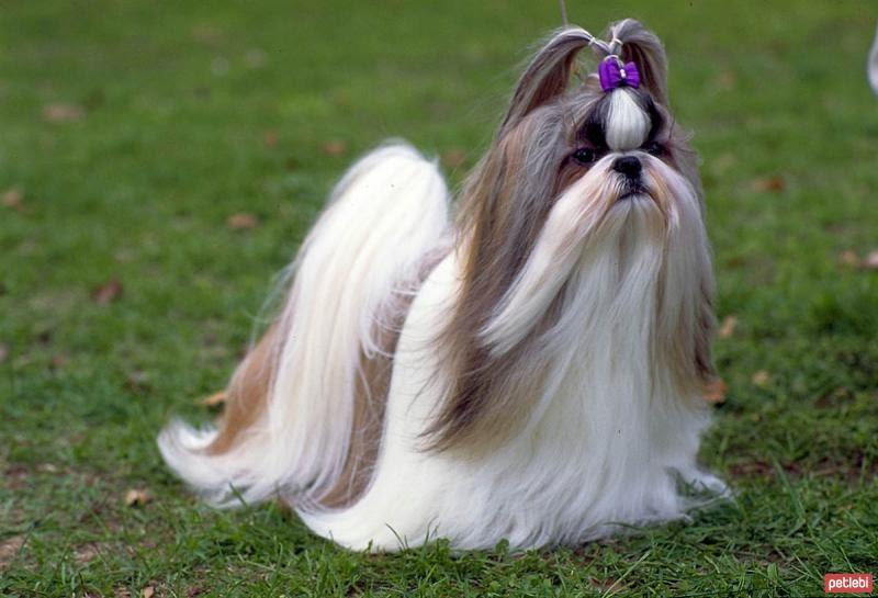 Shih Tzu hond prijs. Shih Tzu kosten, uiterlijk en persoonlijkheid