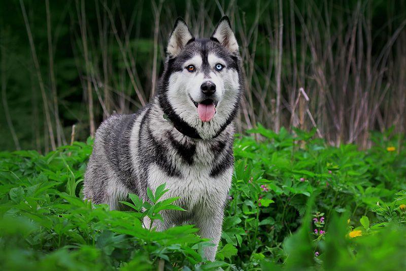 Siberische Husky hond prijs. Siberische Husky kosten, kenmerken, trainen