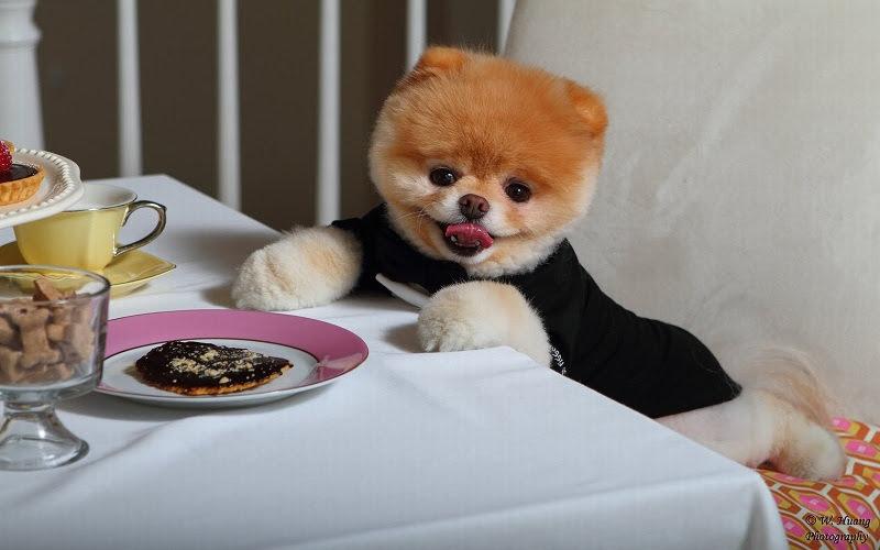 Boo hondje prijs. Wat voor ras is Boo? Wat kost een Boo hond?