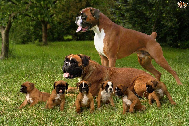 Boxer pups prijs. Boxer hond Uiterlijk en Persoonlijkheid