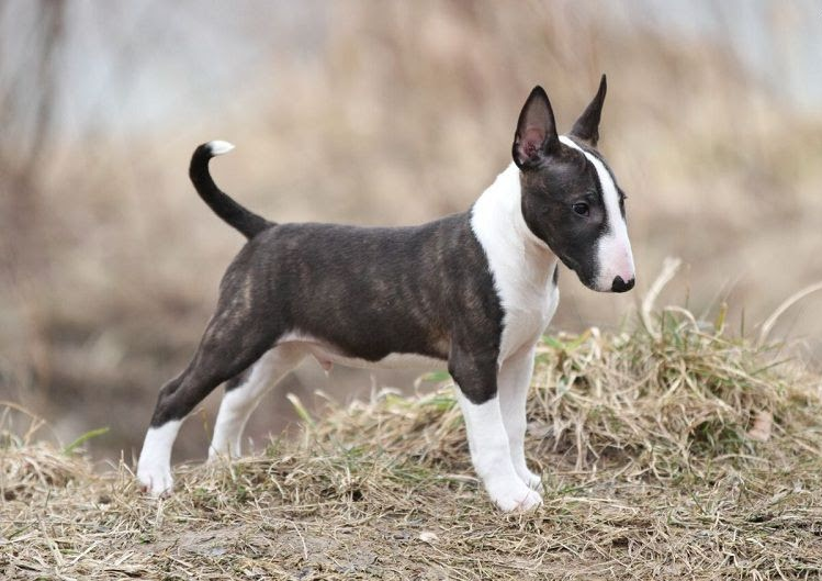 Mini Bull Terriër pup prijs & kosten. Bull Terriër Uiterlijk en Persoonlijkheid