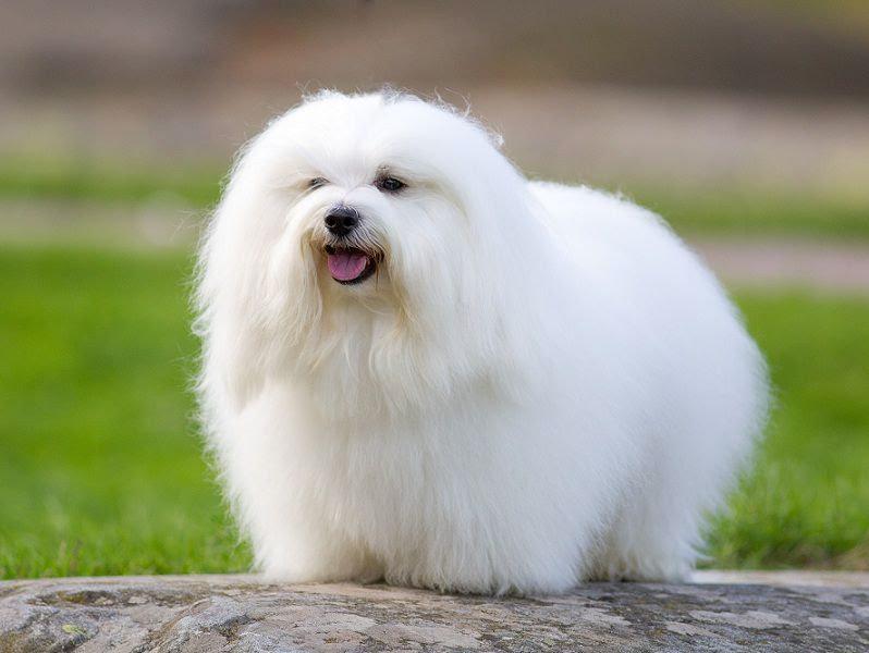 Coton de Tuléar pup prijs. Coton de Tuléar Uiterlijk en Persoonlijkheid