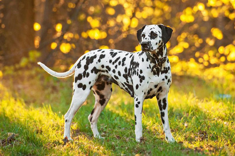 Dalmatiër pup prijs. Dalmatiër karakter, uiterlijk en persoonlijkheid