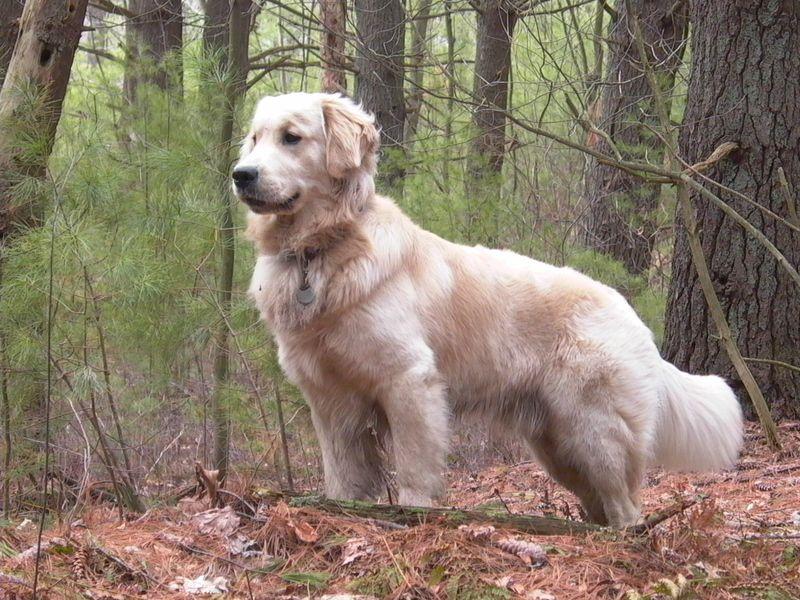 Golden Retriever pup prijs, kosten. Golden Retriever uiterlijk en persoonlijkheid