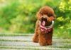 Koningspoedel, Dwergpoedel, Toy Poedel pup Prijs, Uiterlijk en Persoonlijkheden