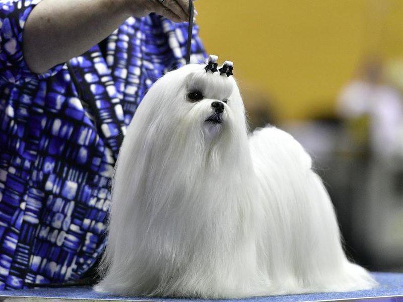 Maltezer pup prijs. Maltezer hond Uiterlijk, Persoonlijkheid, Geschiedenis