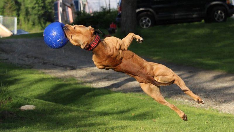 Pitbull pup prijs. American Pitbull hond uiterlijk, persoonlijkheid en geschiedenis