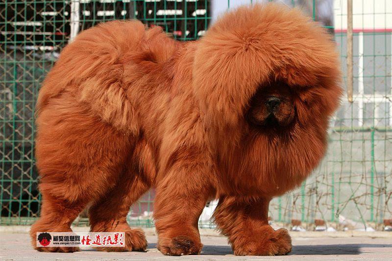Tibetaanse Mastiff Prijs, Kosten, Uiterlijk, Persoonlijkheid en Training