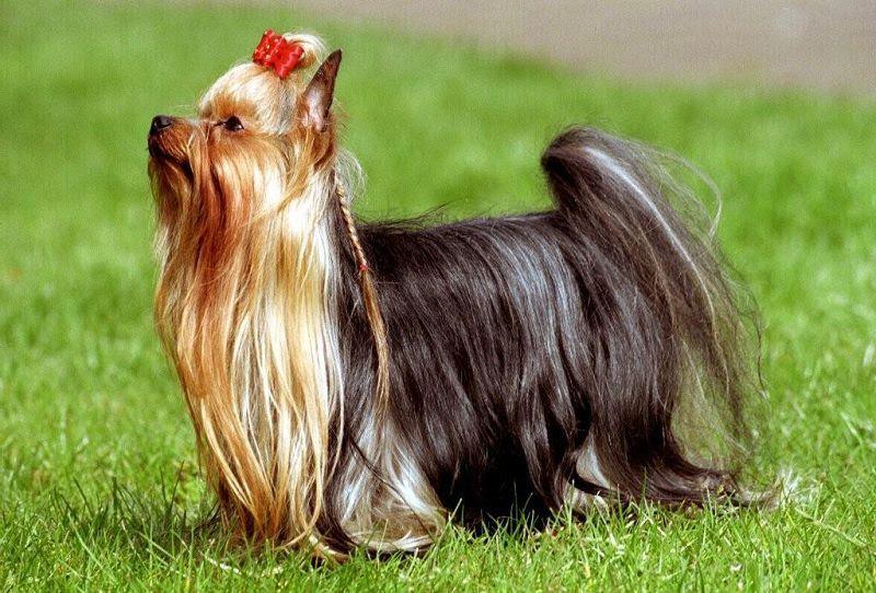 Yorkshire pups Prijs en Kost. Yorkshire Terriër Uiterlijk en Persoonlijkheid