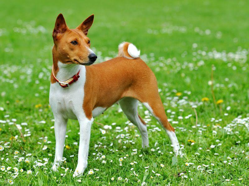 Basenji pup prijs. Uiterlijk, Persoonlijkheid, Geschiedenis van Basenji hond