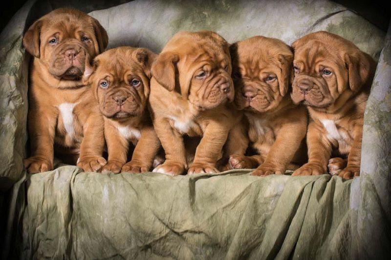 Bordeaux Dog pup prijs. Bordeaux Dog Kenmerken en Geschiedenis