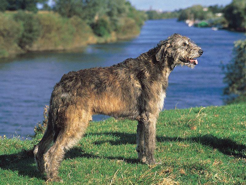 Ierse Wolfshond Prijs, Uiterlijk, Persoonlijkheden en Geschiedenis