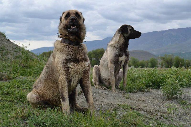 Kangalpup prijs. Kenmerken en Geschiedenis van Anatolische Herder