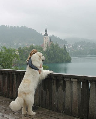 Pyreneese berghond pup prijs. Pyreneese berghond Kenmerken en Geschiedenis