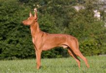 Faraohond pups kopen prijs. Waar zijn Faraohond pups te koop?