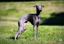 Italiaanse Windhond pups kopen prijs. Italiaanse windhond pups te koop